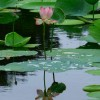 Lotus principes reiki