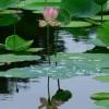 Lotus principes reiki